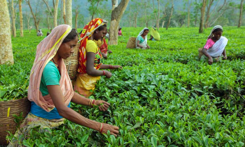 India's tea output drops in 2020, lifts prices to a record high